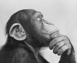A picture of a monkey thinking